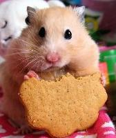 Hamster eating cookie