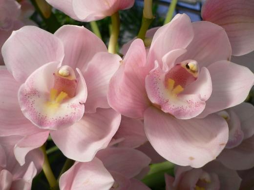 Elegant Pink Orchids (Cymbidium)