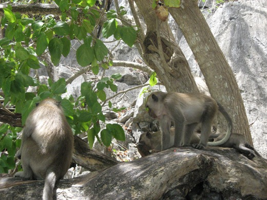 Macaque monkeys on the tree