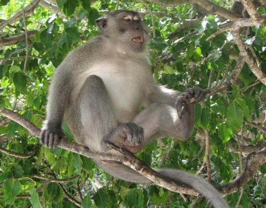 Macaque monkey on the tree