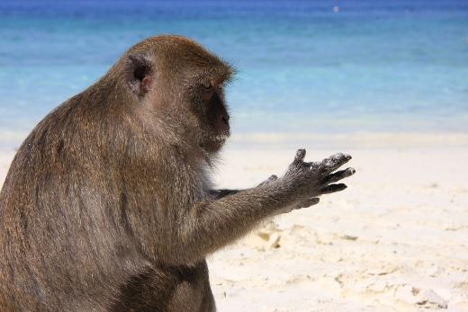 Macaque monkey on Yong Kasem Beach