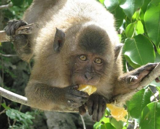 Macaque eating orange