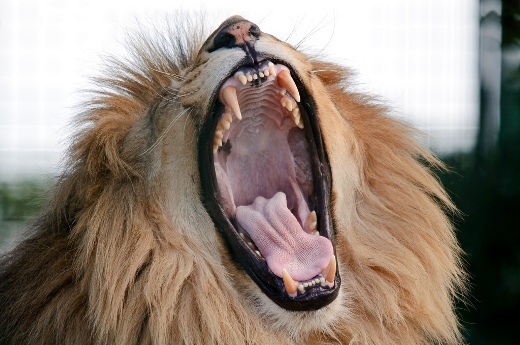 Amazing yawning lion