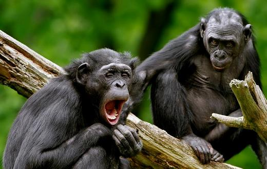 Yawning funny monkeys