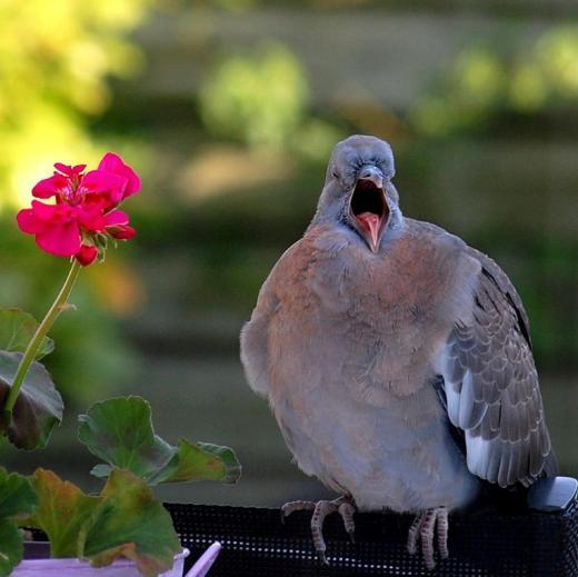 Yawning pigeon