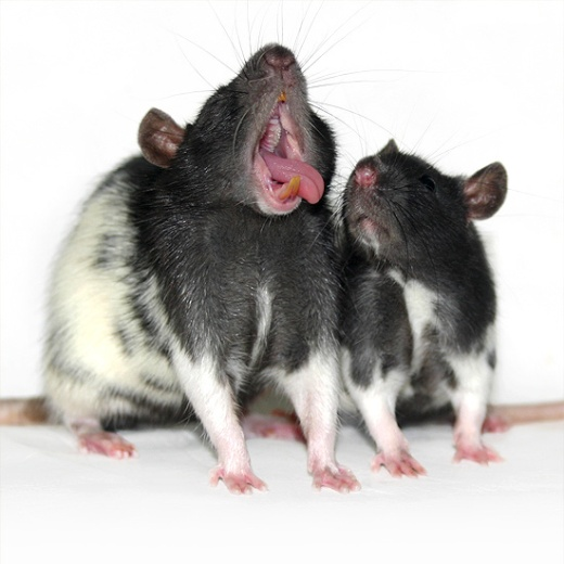 Yawning rats