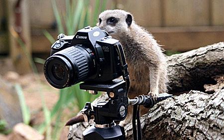 Meerkat and photo camera