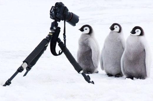 Penguins and photo camera