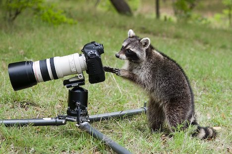 Racoon and photo camera