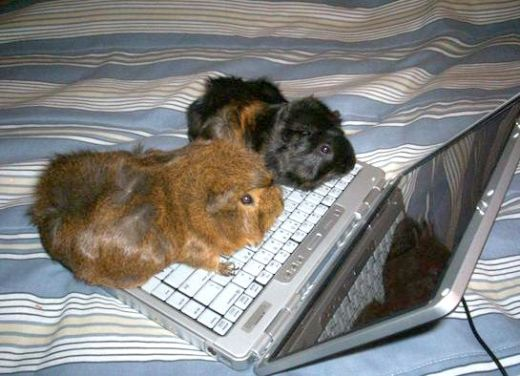 Guinea pigs with laptop