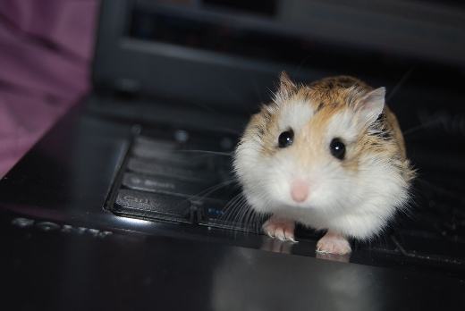 Hamster on the keyboard
