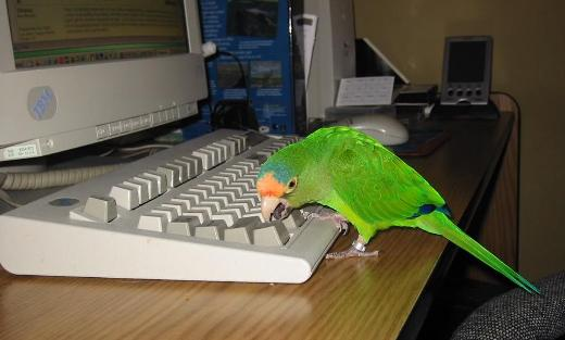 Parrot with keyboard