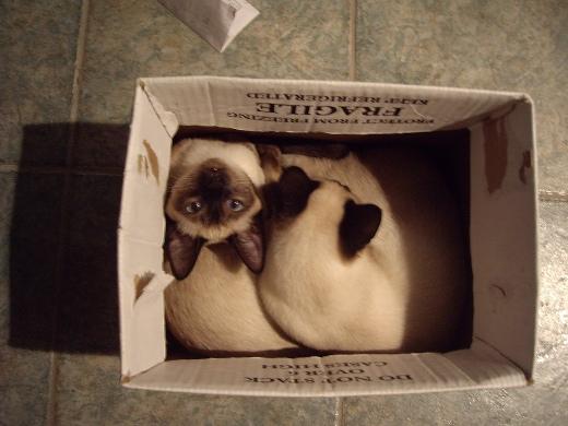 Siam cat box