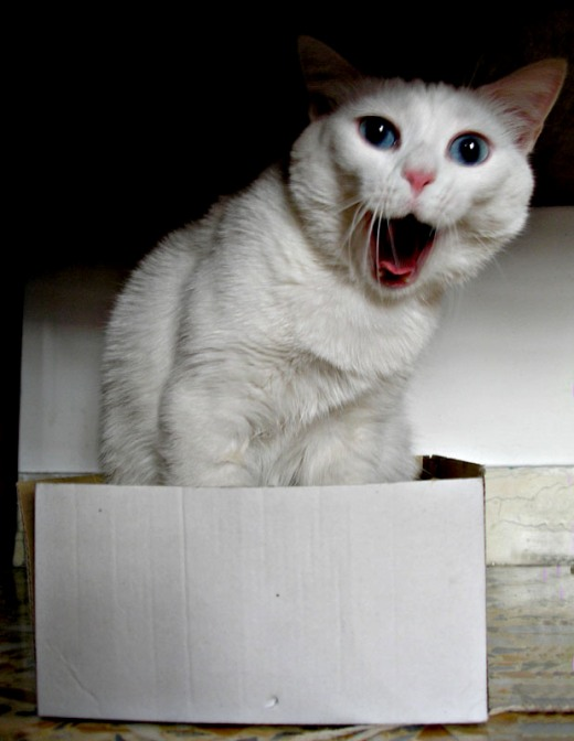 Yawning cat in a box